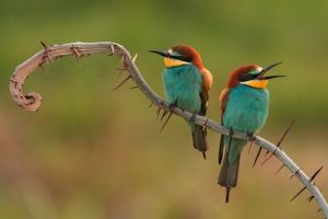 bee-eaters-3749679__340
