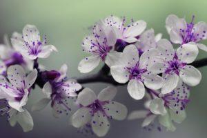 blossom-839594__340