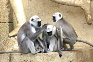 green-monkeys-112275__340