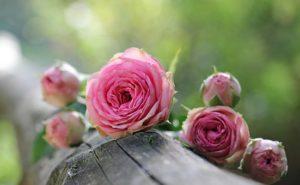 rose-1687884__340