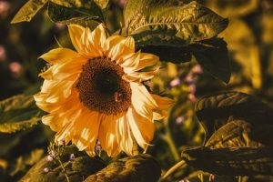 sunflower-3759285__340