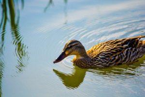 duck-4102440__340