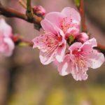 日比谷公園でお花見